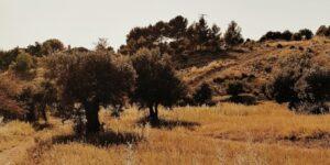 Olivos de Campo Real en primavera